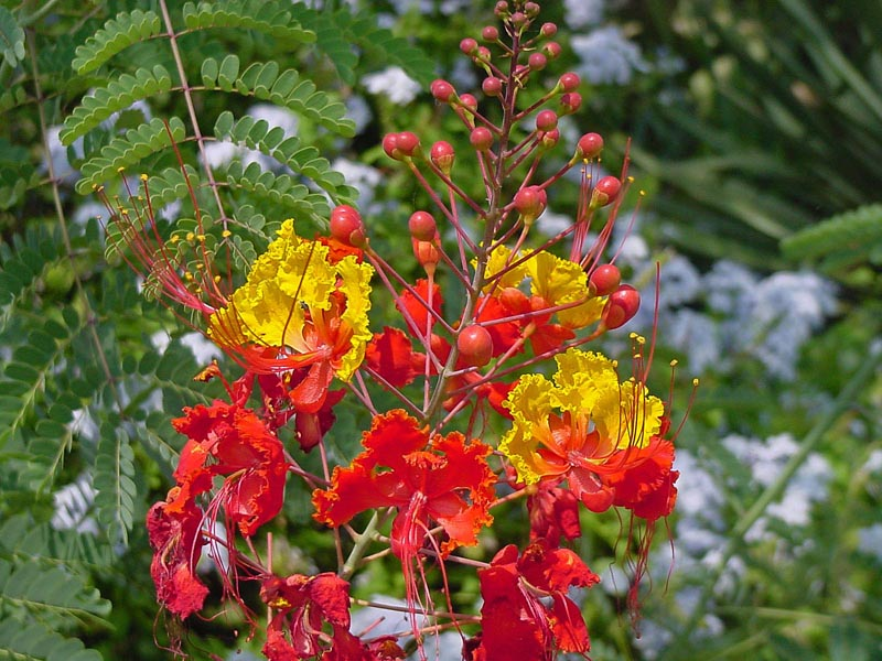 Pride Of Barbados 2