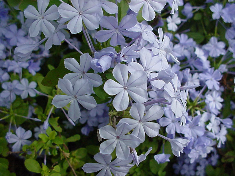 Texas superstar plumbago cape plumbago plumbago auriculata tender perennial with profuse blue flowers mightylinksfo