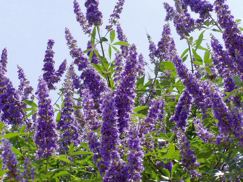 Vitex Texas Lilac Or Chaste Tree